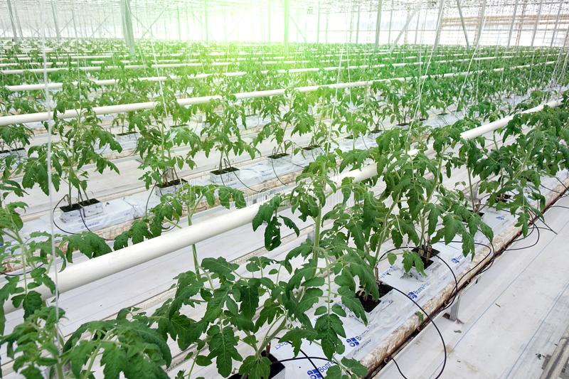 Growing cucumbers in a greenhouse. stock photos