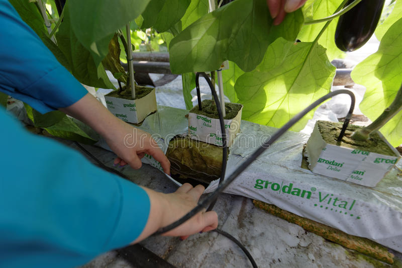 Growing eggplants in a greenhouse stock image