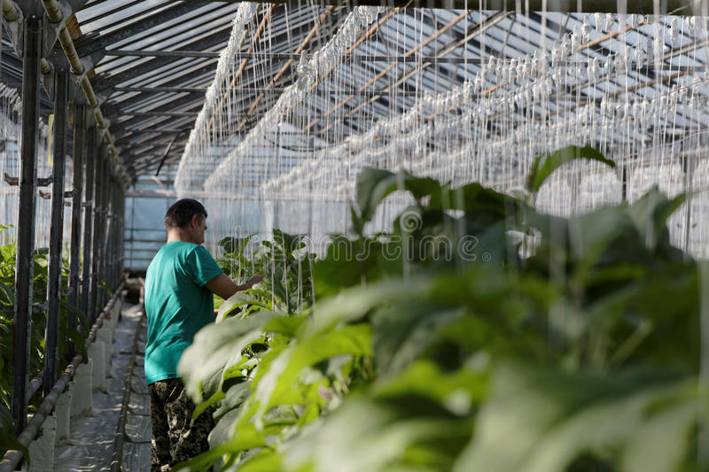 Download Growing Eggplants In A Greenhouse Editorial Stock Photo - Image: 93286548