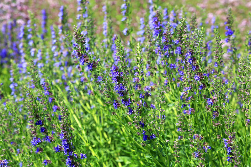 Growing English Lavender, Lavandula angustifolia royalty free stock image