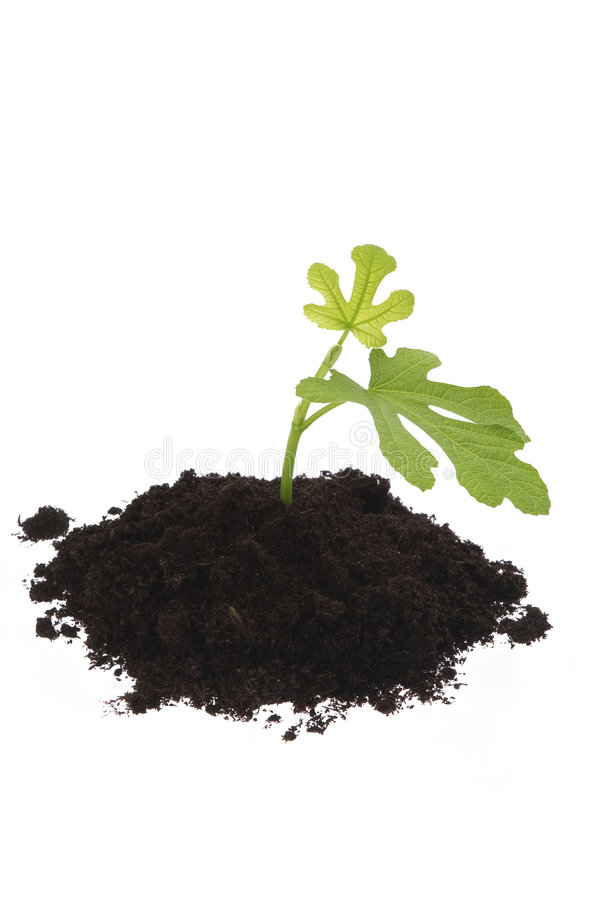 Free Growing Fig In Soil Stock Photo - 1792450