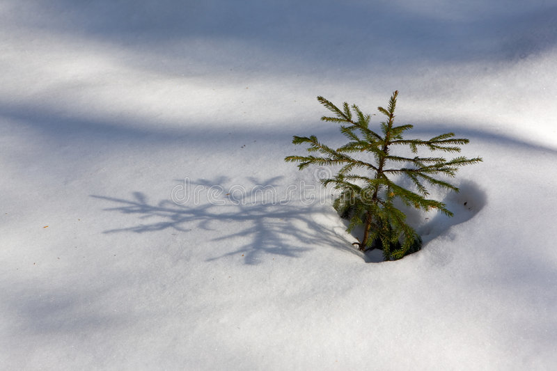 Growing Fir-tree Royalty Free Stock Photography