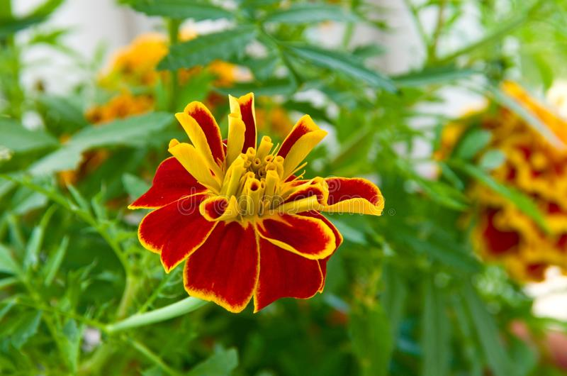 The growing flower of a marigold stock photo
