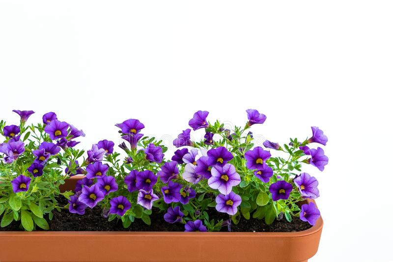Growing flowers in planter in a kitchen garden. Flower pot with flowering million bells plant stock photos