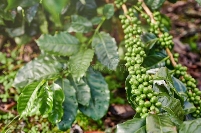Growing fresh new coffee. On branch on leaves background royalty free stock photos