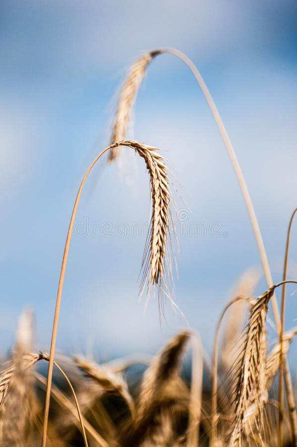 Growing grain in a field during summer, harvest time is coming. A field in summer with growing grain, seems that harvest time is near stock photo