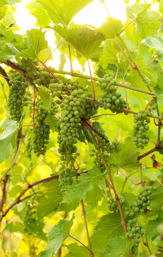 Growing grape in vineyard in the sunlight. Clusters of unripe grape close-up stock photography