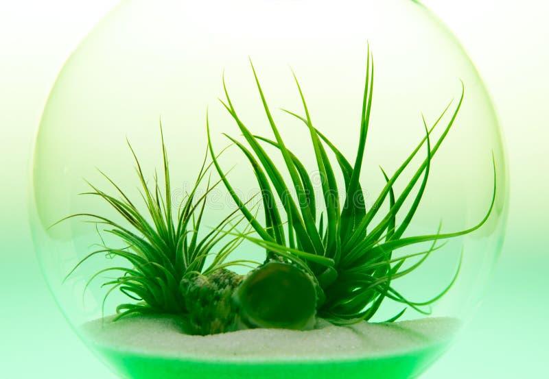 Growing Green - Air Plant Terrarium. Air plant terrarium shot on light table with green light royalty free stock photos