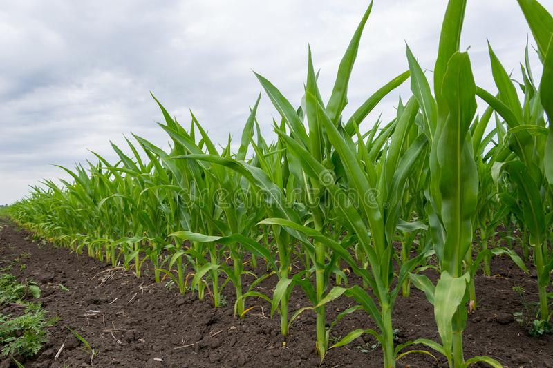 Growing green corn closeup, planted in neat rows, against a blue sky with clouds. Agriculture. Ukraine stock image