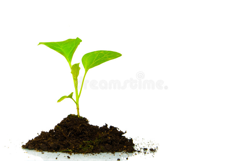 Growing green plant isolated stock image