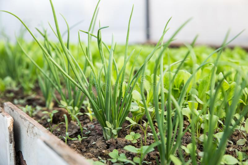Growing greens for salad. Fresh, young and tender lettuce, mustard, arugula and onion leaves grow in the garden. royalty free stock images