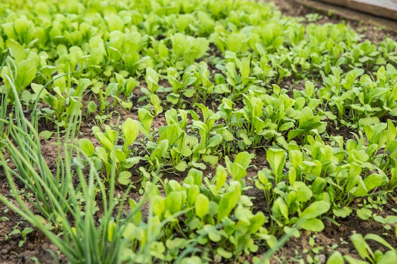 Growing greens for salad. Fresh, young and tender lettuce, mustard, arugula and onion leaves grow in the garden. royalty free stock photos