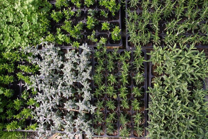 Growing herbs royalty free stock image