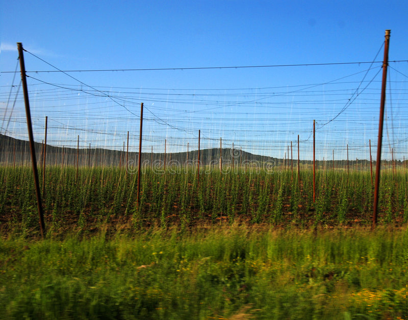 Growing Hops stock photography