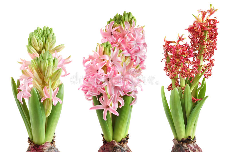 Download Growing hyacinth stock photo. Image of fallen, leaf, bulb - 13709672