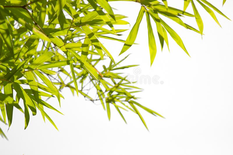 Growing Leaf Bamboo frame nature on white isolated texture backgroundclipping path. Green Energy and World for Water Day or stock images