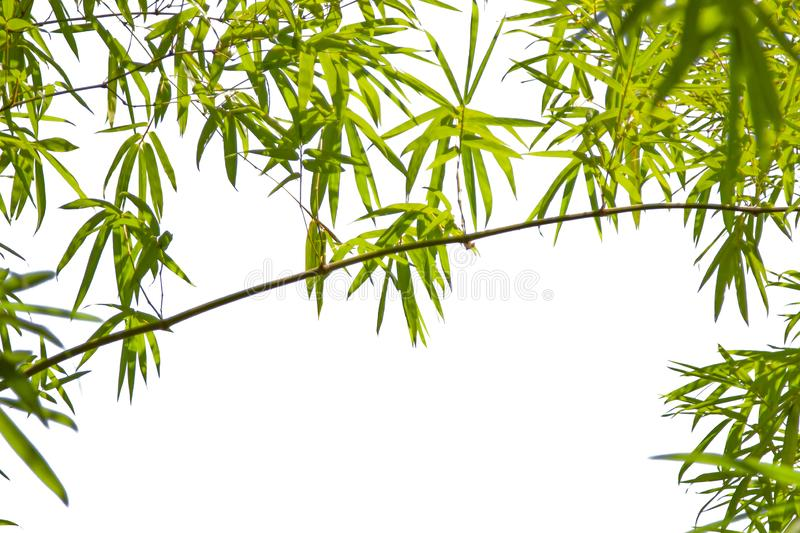 Growing Leaf Bamboo frame nature on white isolated texture backgroundclipping path. Green Energy and World for Water Day or royalty free stock photography