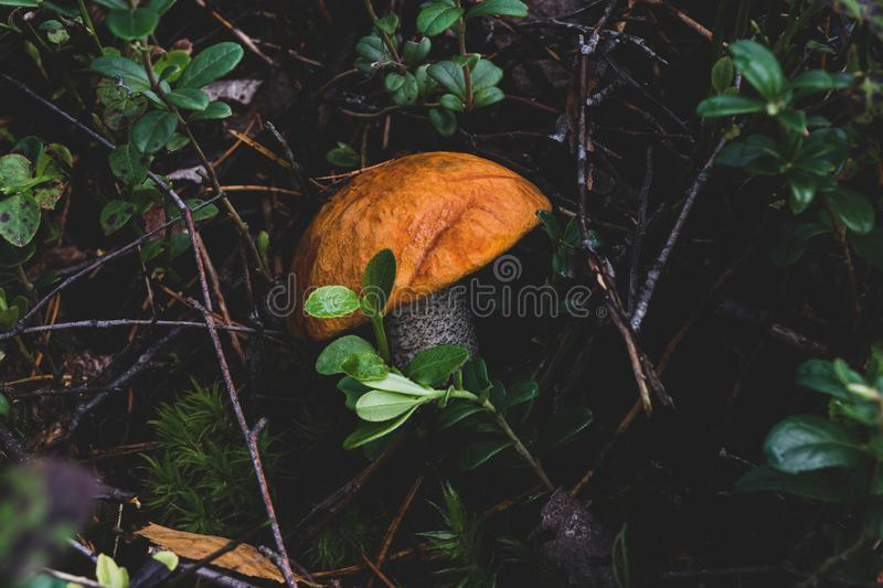 Growing leccinum mushroom. Leccinum versipelle mushroom also known as Boletus testaceoscaber or orange birch bolete growing in the middle of the wet grass and stock image