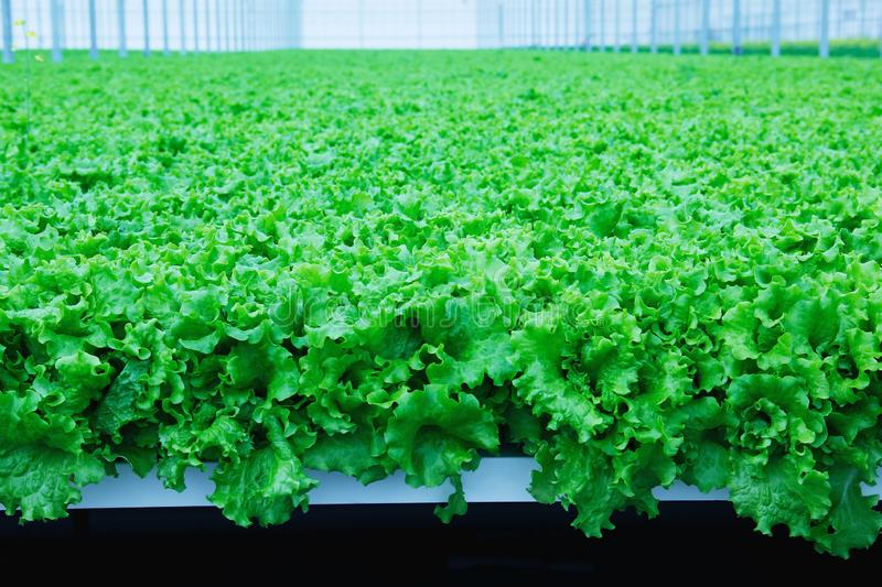 Growing lettuce in the greenhouse. stock images