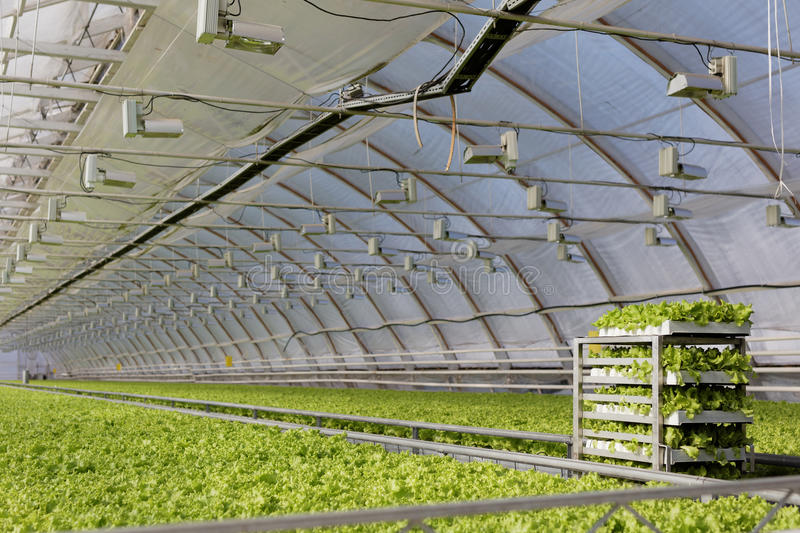 Download Growing Lettuce In A Greenhouse Editorial Image - Image: 93286680