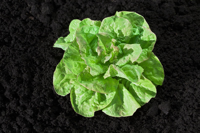 Growing lettuce royalty free stock images