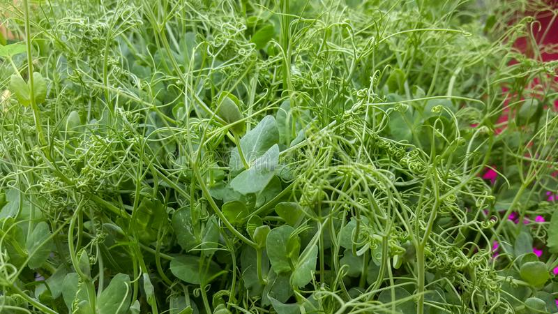Pea Microgreen Shoots in grow lights. Growing many healthy and nutritious Home grown micro greens indoors. Perfect for a high nutrition salad addition. Not a royalty free stock photo