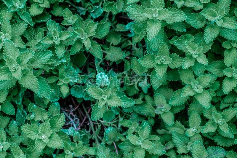Growing mint leaves background. royalty free stock photo