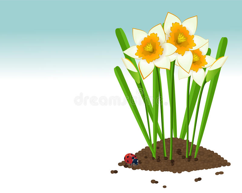 Download Growing narcissus stock illustration. Illustration of green - 24385868