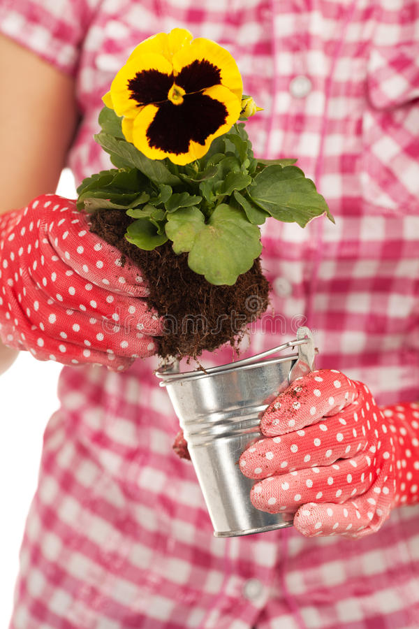 Growing new generation. Close-up of a hands about to plant violet stock image