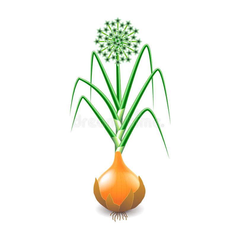 Growing onion plant isolated on white vector. Growing onion plant isolated photo-realistic vector illustration royalty free illustration