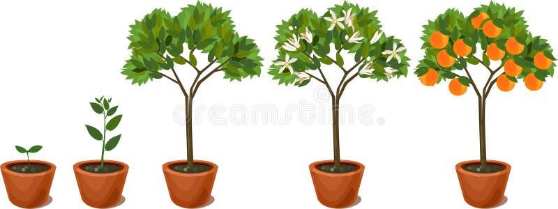 Growing orange tree. Life cycle plant royalty free illustration