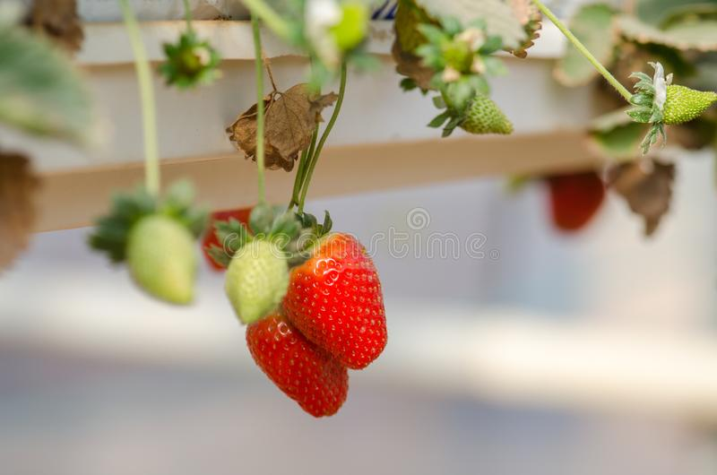 Growing organic sweet hydroponic Strawberries in greenhouse. Israel royalty free stock photo