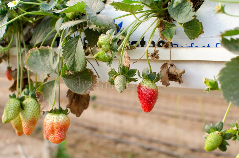 Growing Strawberries Greenhouse Stock Images - Download ...