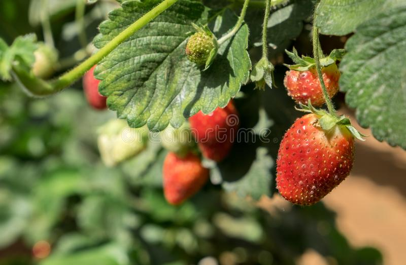 Growing organic sweet hydroponic Strawberries in greenhouse. Growing organic sweet hydroponic red strawberries in greenhouse. Israel royalty free stock photos
