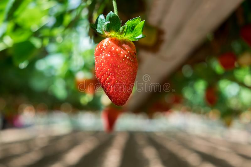 Growing organic sweet hydroponic Strawberries in greenhouse. Growing organic sweet hydroponic Strawberries growing in greenhouse royalty free stock photos