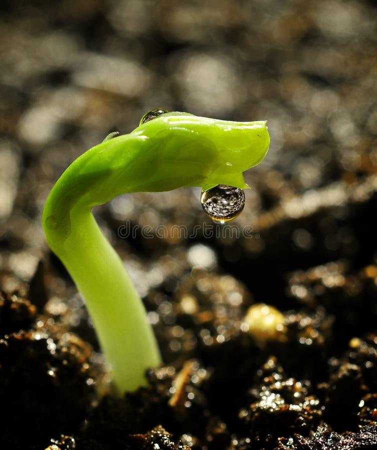 Free Growing Peas Royalty Free Stock Image - 8814346