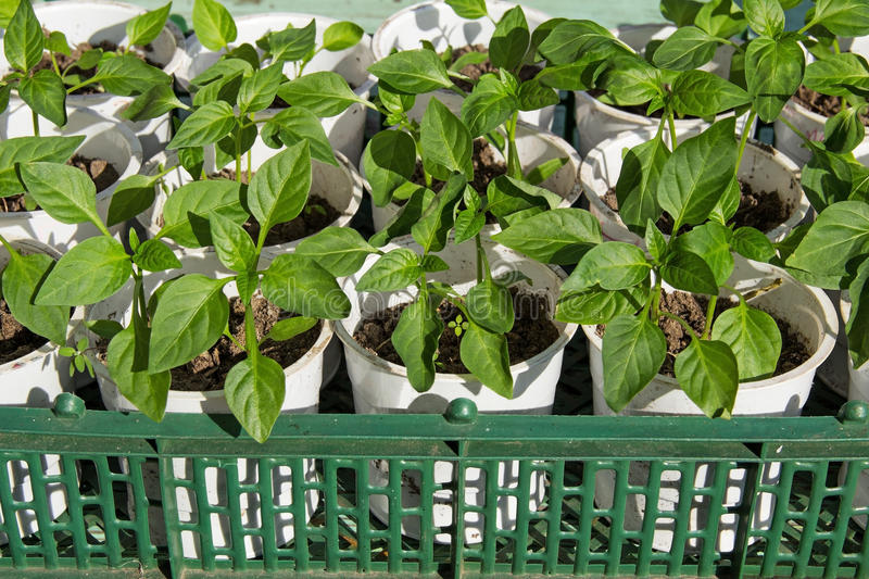 Growing peppers, agricultural business, young sprout pepper. Young green shoots of pepper grown in plastic boxes stock photography