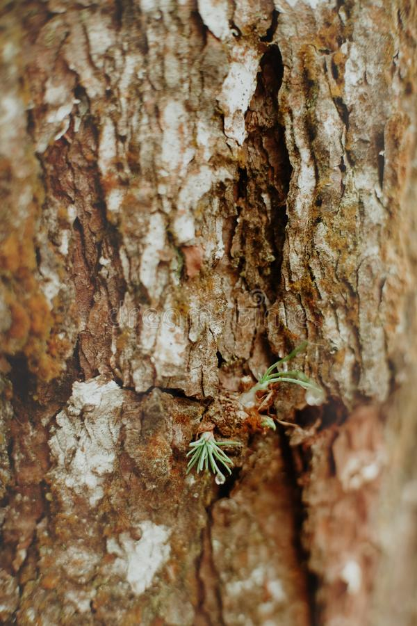 Growing pine neddles foliage. selective focus. Growing pine neddles foliage . selective focus royalty free stock images