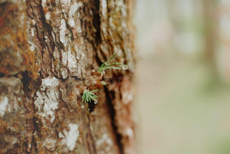 Growing pine neddles foliage. selective focus. Growing pine neddles foliage . selective focus royalty free stock photos