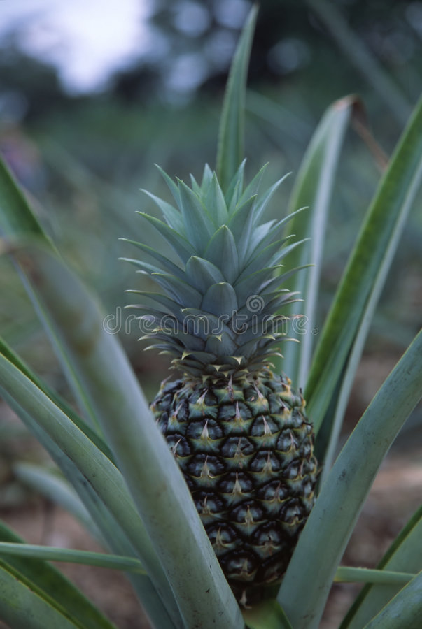 Growing Pineapple2 royalty free stock image