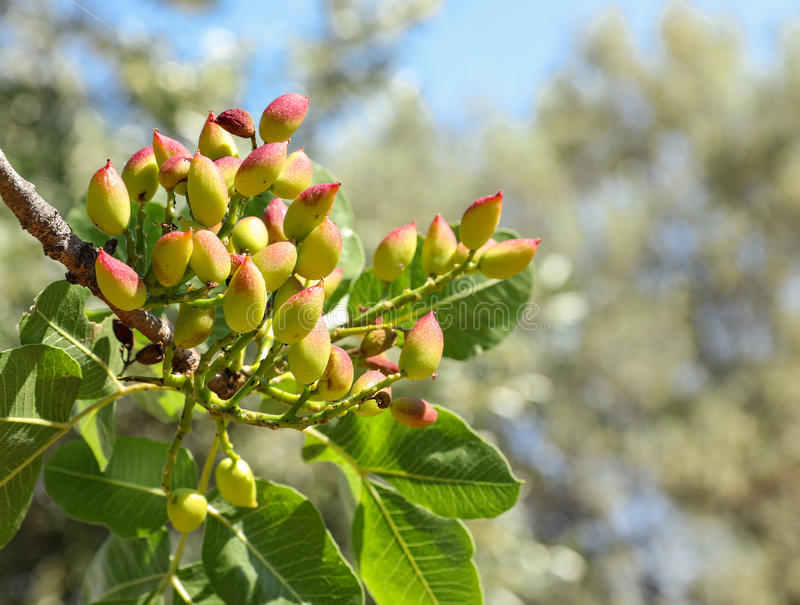 Growing pistachios on the branch of pistachio tree. Spring, May. Horizontal. Close-up stock photos