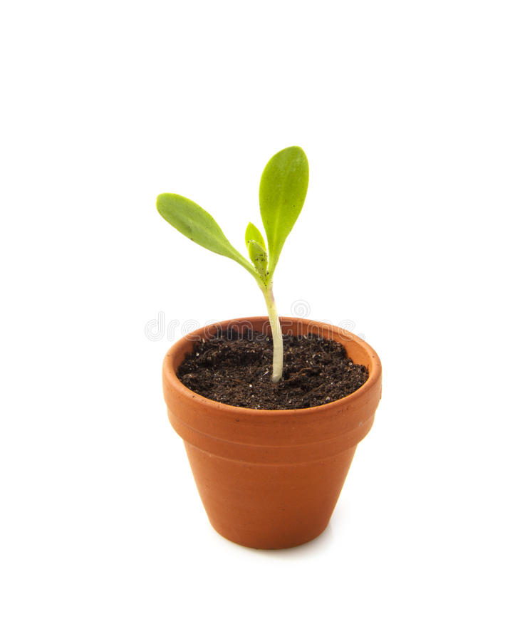 Free Growing Plant Royalty Free Stock Images - 31331119