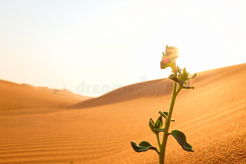 A growing plant on a dry desert land at sunrise. Rebirth, hope, new life beginnings and spring season concept. A growing plant on a dry desert land at sunrise stock image