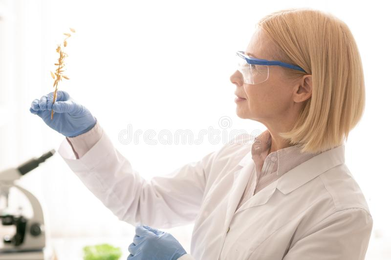 Growing plant in laboratory conditions. Content confident attractive mature woman in protective goggles and rubber gloves examining rye while growing plant in stock image