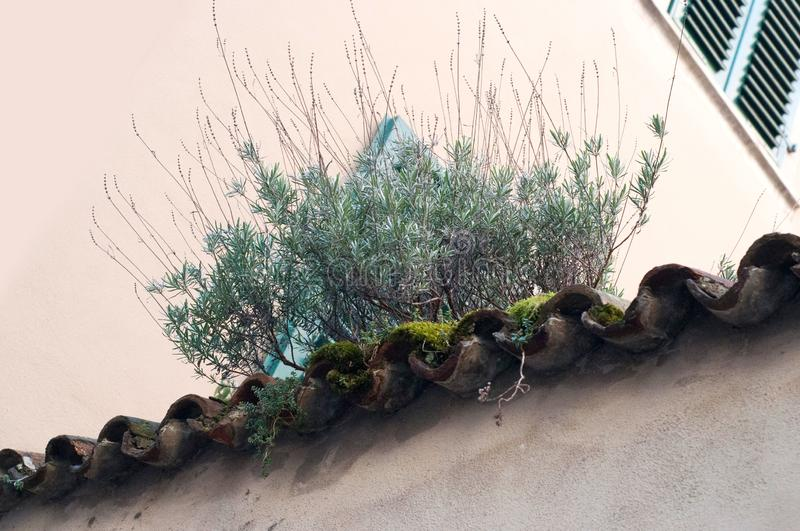Growing plant on the old roof. Growing green moss on the roof royalty free stock photos