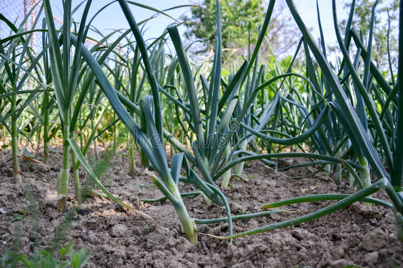 Growing planted home-grown onions Allium cepa and garlic Allium sativum. Onion plantation at spring time stock photos