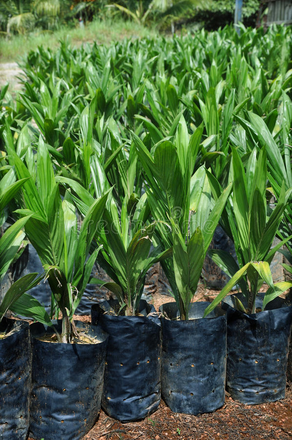 Growing plants (crude palm oil) stock photography