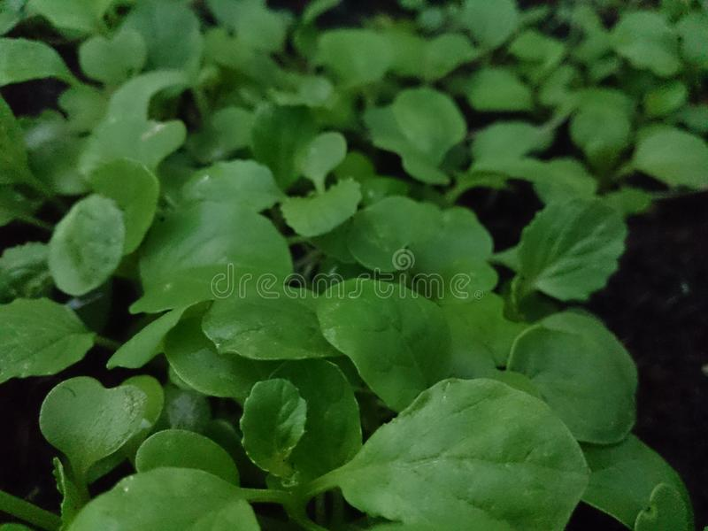 Growing Plants and Gogreen Day 3. Spinach Grows on private farm. Photos taken in a village in Indonesia. Beautiful country and full of beautiful scenery stock photo