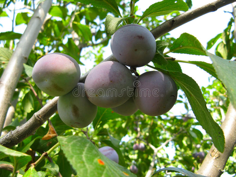 Download Growing plums stock image. Image of green, environment - 11401833