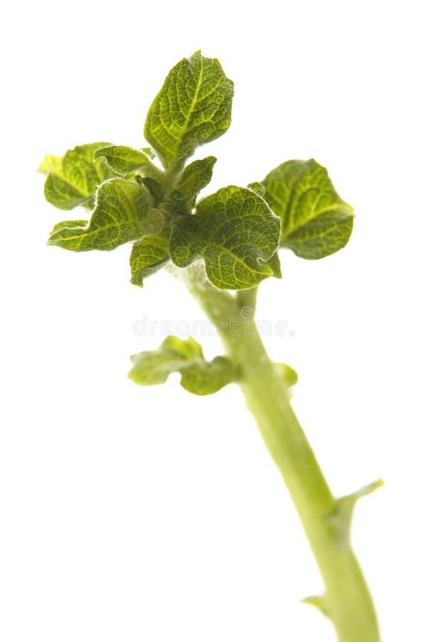 Free Growing Potato Royalty Free Stock Photo - 3174145